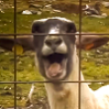 Screaming Sheep Icon